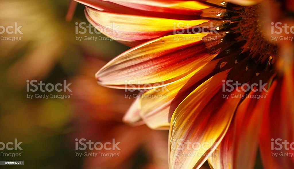 Multicolored flower royalty-free stock photo