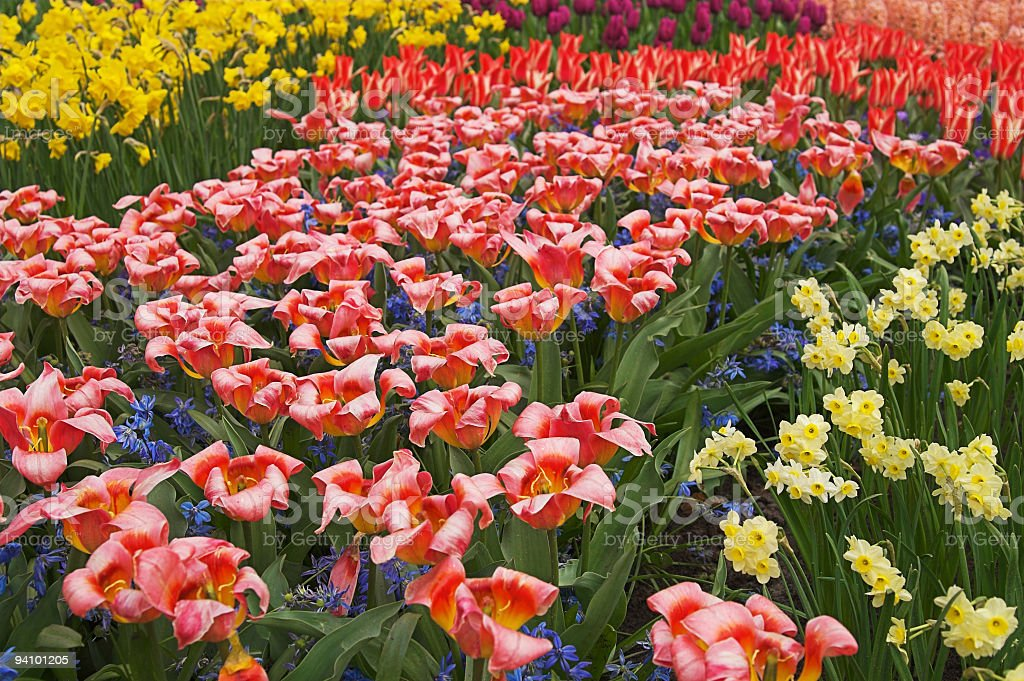 Multicolored flower-bed of tulips and narcissi royalty-free stock photo