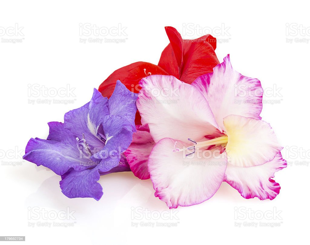 multicolored flowers gladiolus royalty-free stock photo