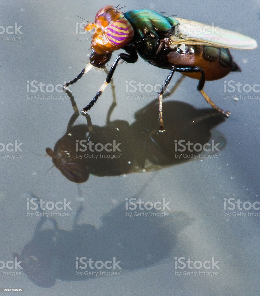 Multicolored Fly On Glass With Double Reflection stock photo