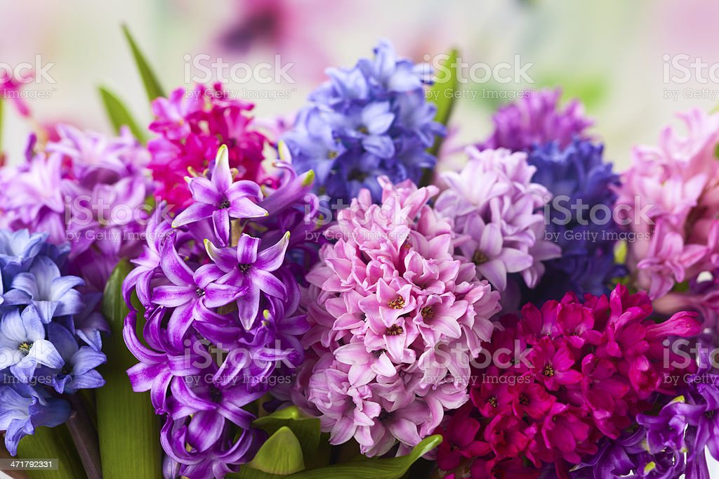 Multicolored hyacinths stock photo