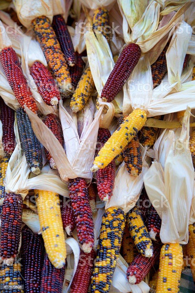 Multicolored Indian Corn stock photo