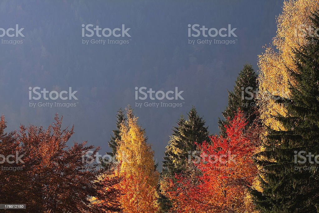 Multicolored Larch trees in Autumn royalty-free stock photo