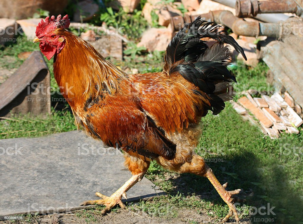 Multi-colored large rooster. stock photo