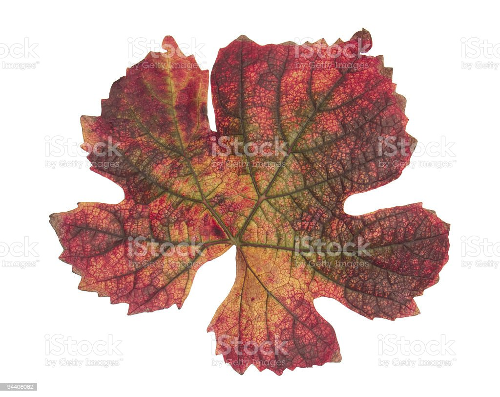 Multicolored leaf of grapevine on white stock photo