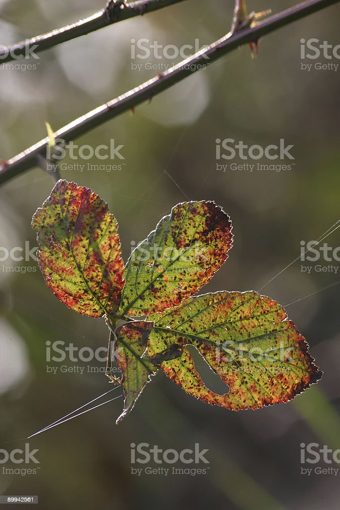 Multicolored leaf royalty-free stock photo