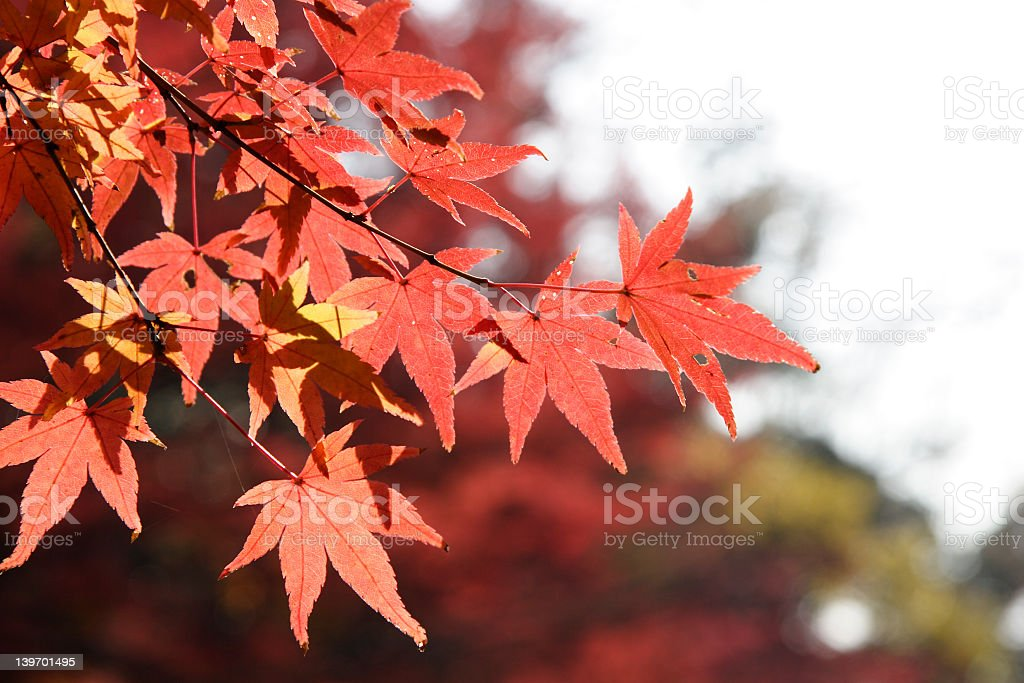 Multi-Colored Leaves on Trees in Kyoto, Japan royalty-free stock photo