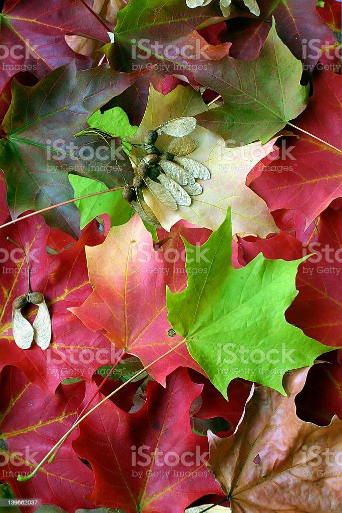 Multicolored Maple Leaf Arrangement royalty-free stock photo