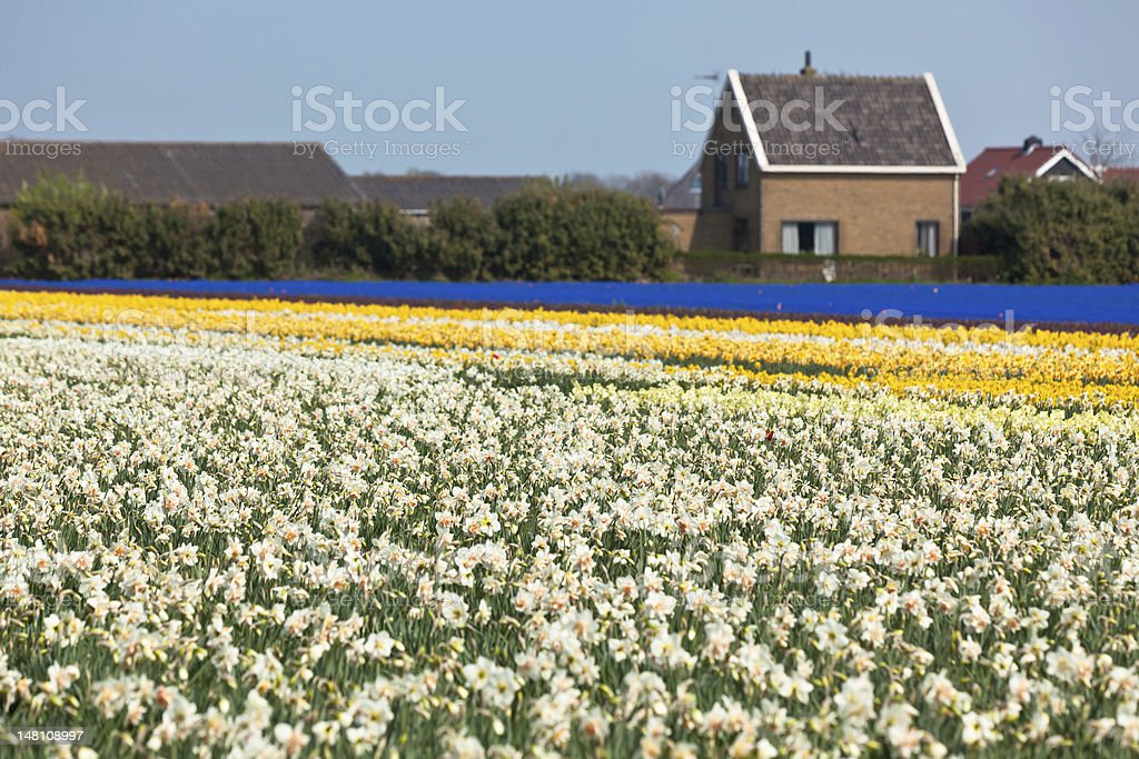 Multicolored narcissus field royalty-free stock photo