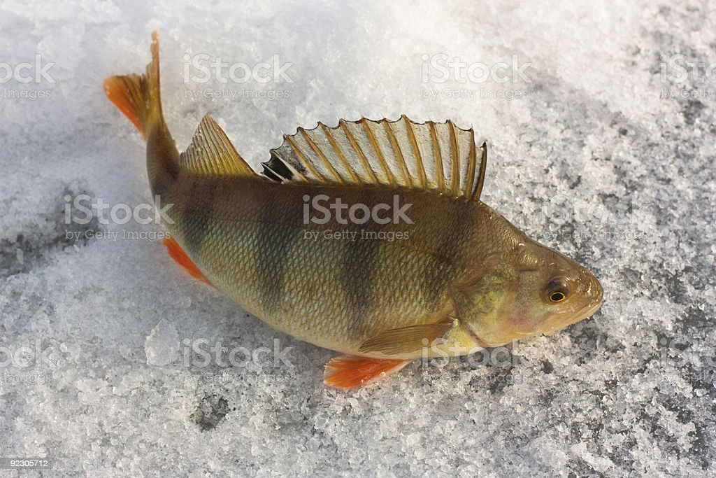 A multi-colored perch swimming underwater stock photo