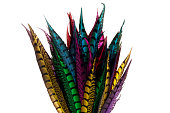 Multicolored pheasant feathers