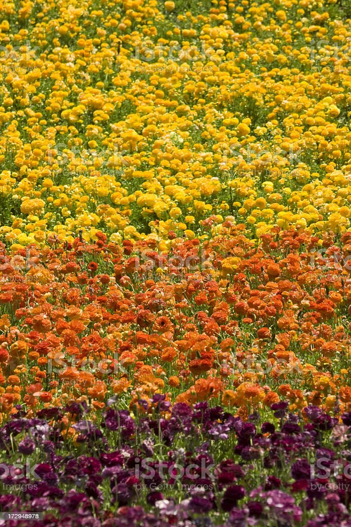 Multi-colored Ranunculus Field, flowers, explosion of color, florist, agriculture royalty-free stock photo