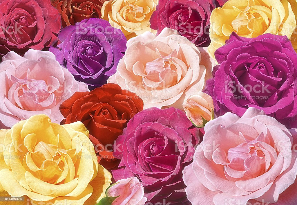 Multicolored roses closeup stock photo