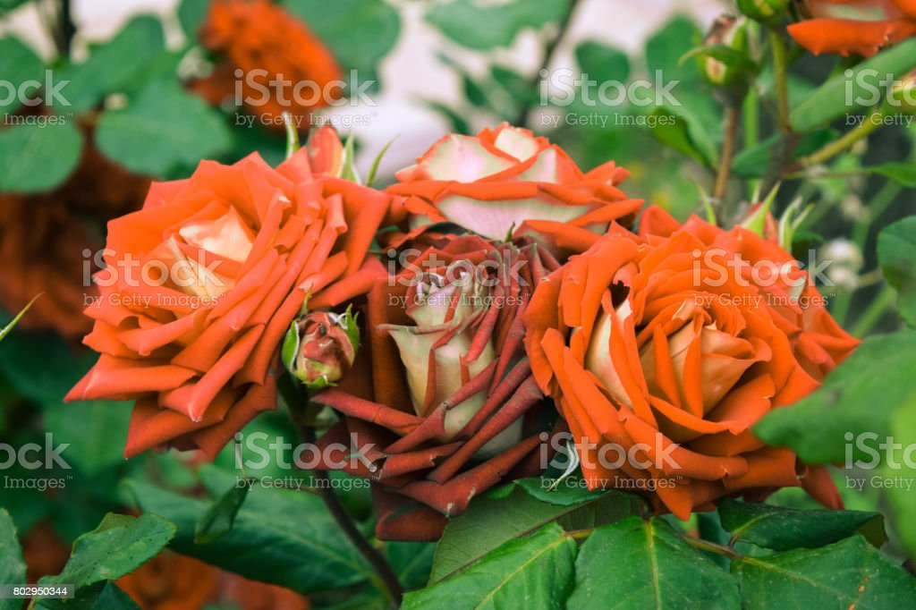 Multi-colored roses stock photo