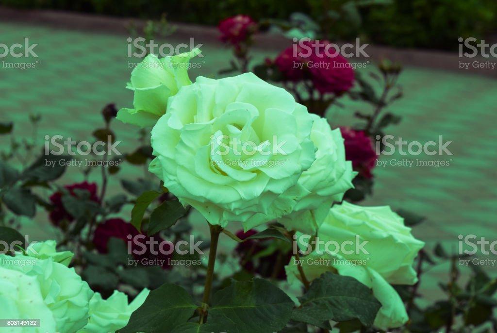 Multi-colored roses stock photo