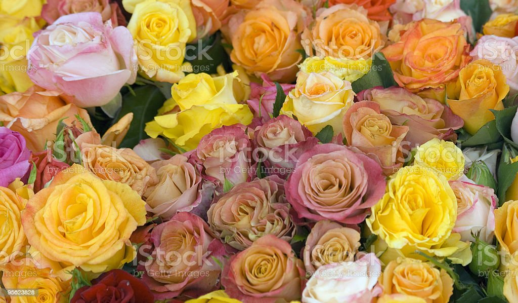 multicolored roses royalty-free stock photo