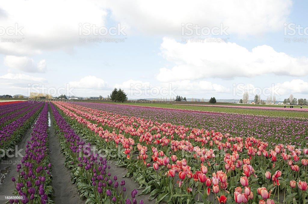Multicolored Tulip Field stock photo