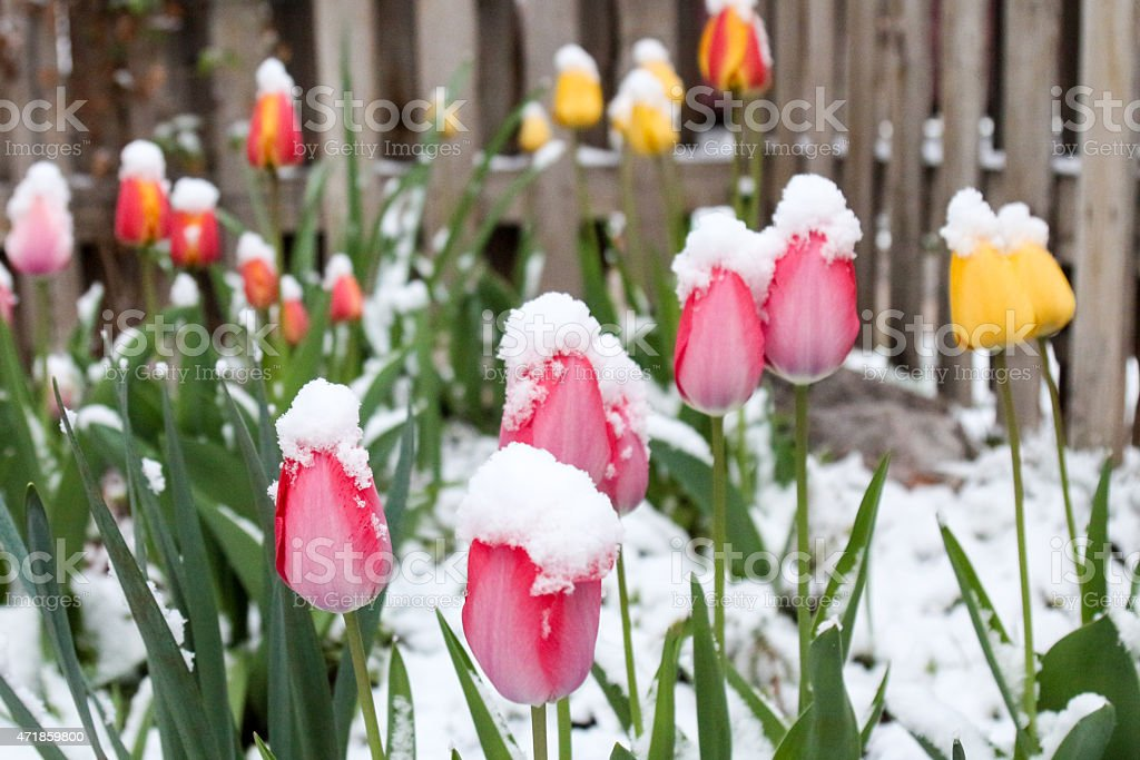 Multi-colored tulip garden covered in fluffy snow stock photo