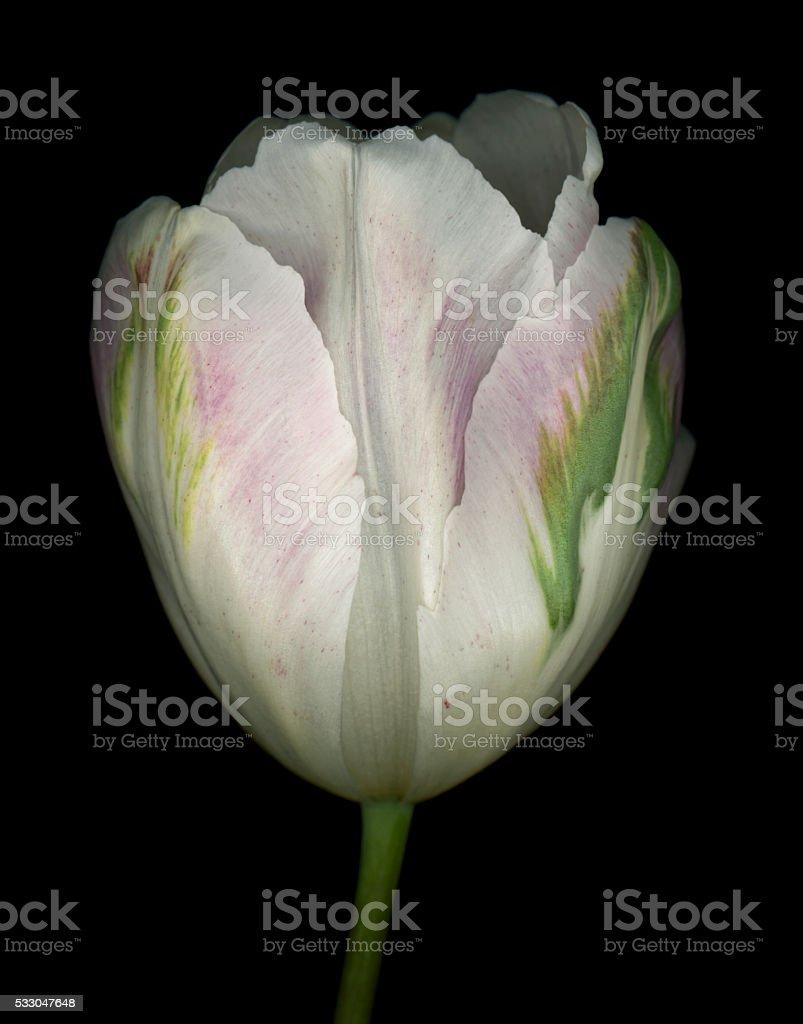 Multi-colored Tulip stock photo