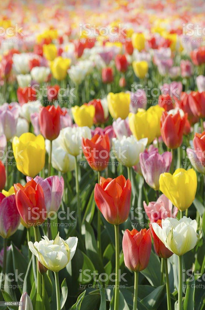 multicolored tulips field in park stock photo