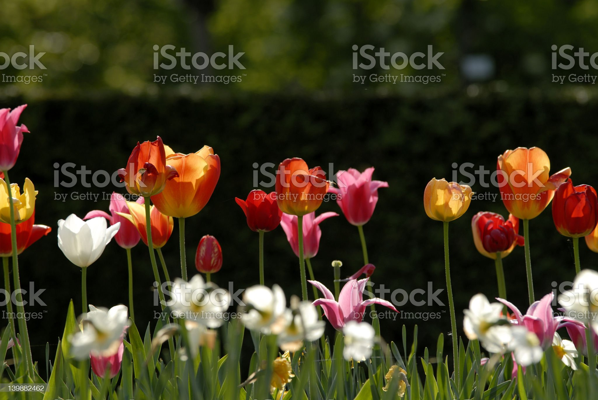 Multicolored Tulips royalty-free stock photo