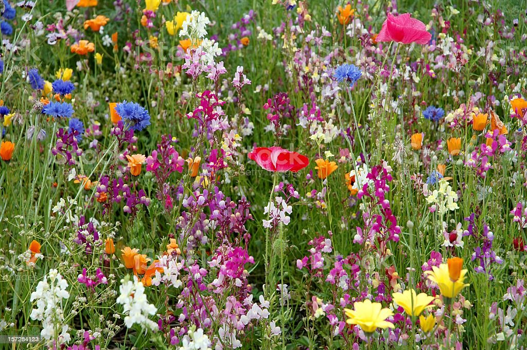Multicolored wildflowers  in the summer  meadow stock photo