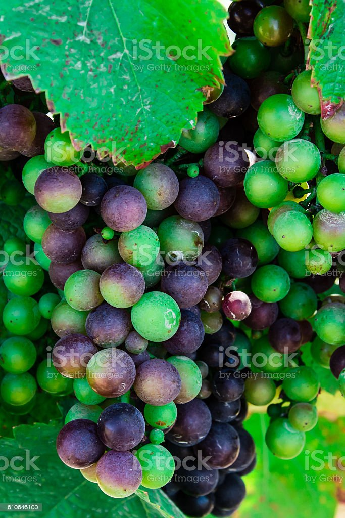 Multi-Colored wine grapes hanging on the vine stock photo