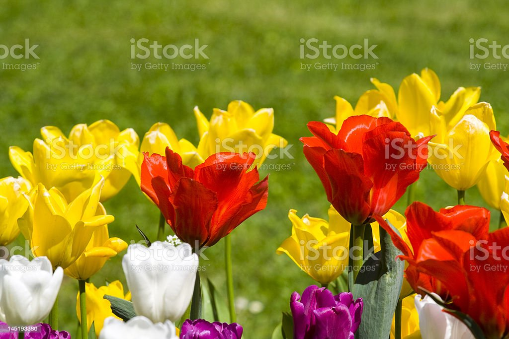 Multicolour tulips royalty-free stock photo
