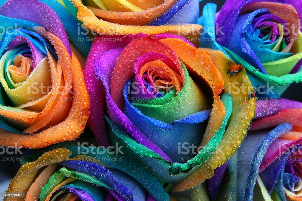 Multicoloured rainbow roses stock photo