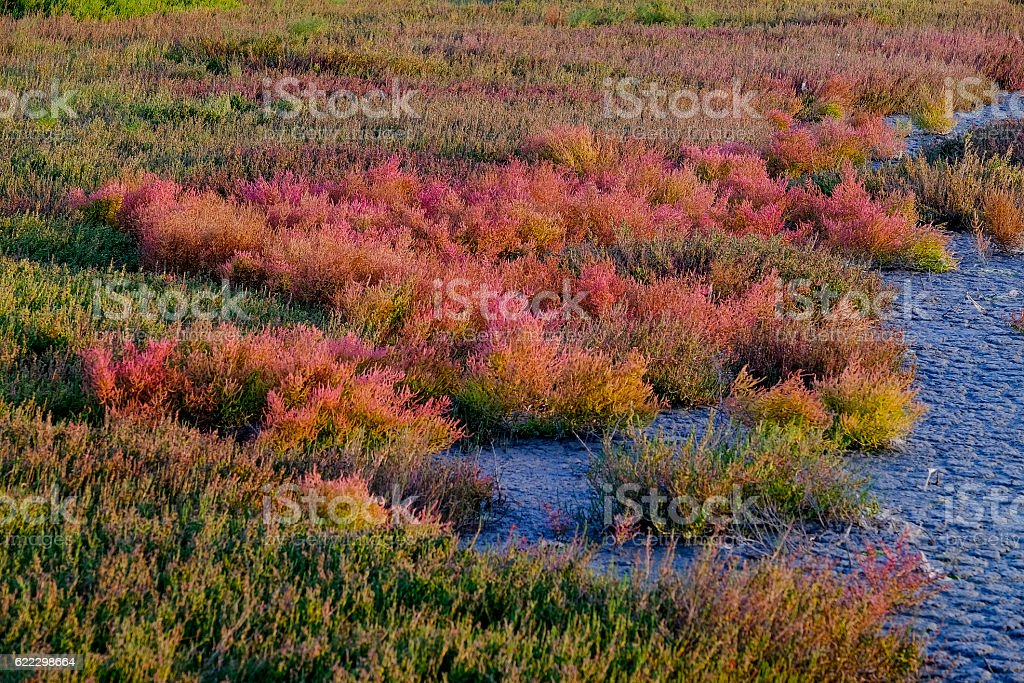 Multi-coloured succulents plants at sunset in Camargue wetlands stock photo