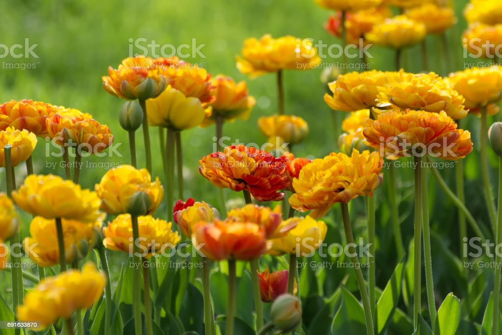 Multilobed, terry orange and yellow tulip in a spring garden. stock photo