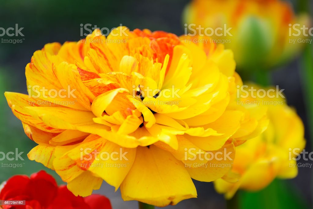 Multilobed, terry  yellow and orange tulip in a spring garden. stock photo