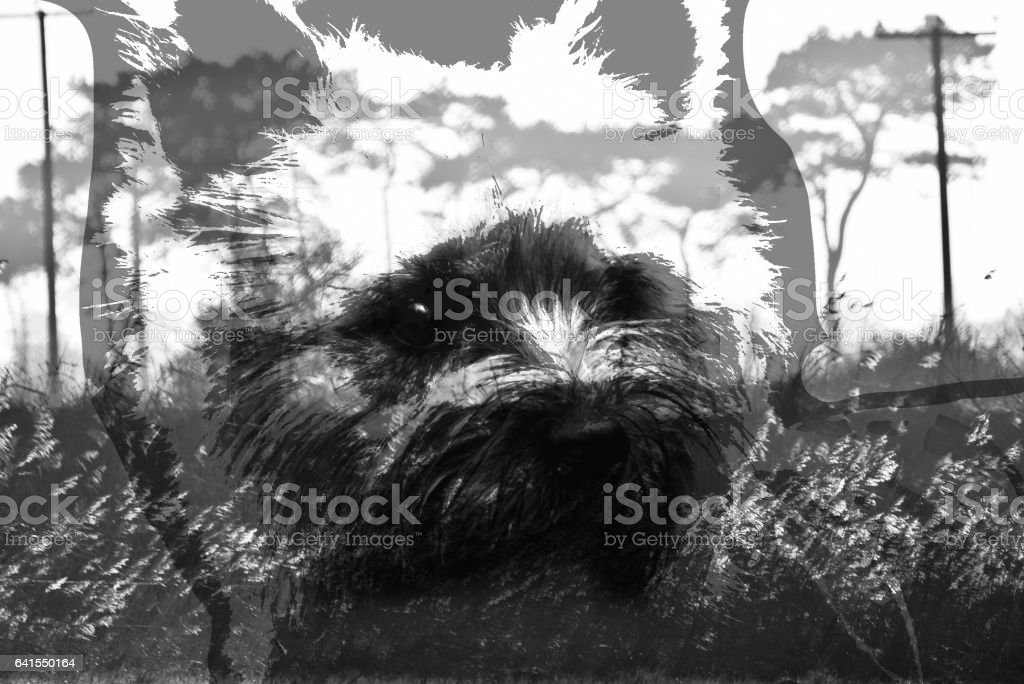 multiple exposure of a dog staring into the forest stock photo