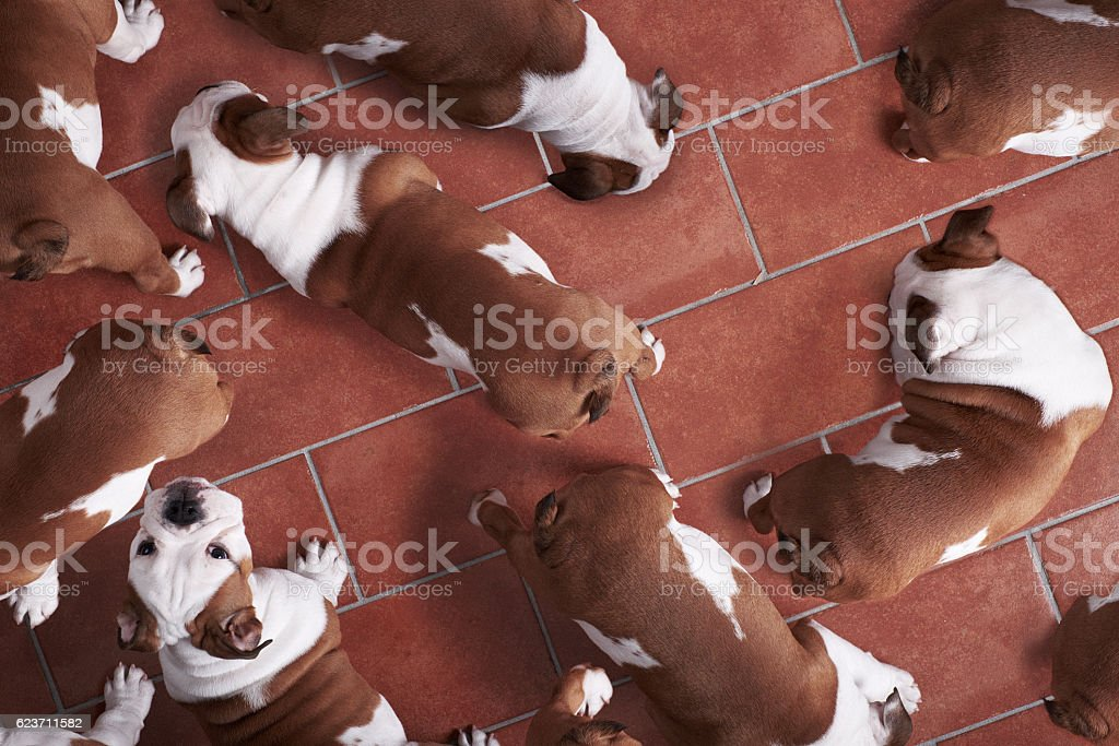 Multiple exposure of English bulldog at home stock photo