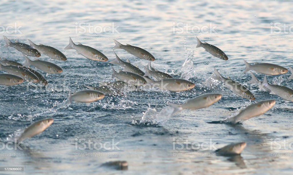 Multiple fish jumping out of water stock photo