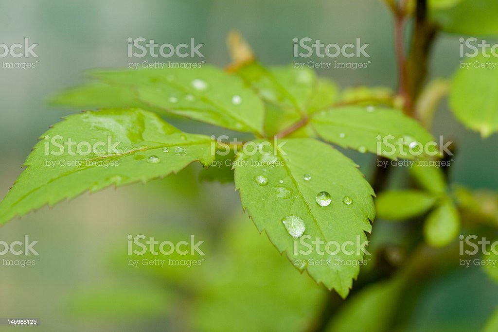 Multiple Leaves with dew droplets royalty-free stock photo