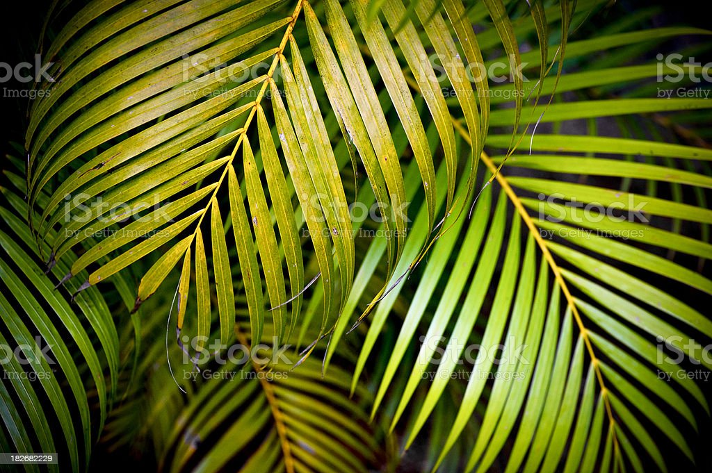 Multiple Palm leaves stock photo