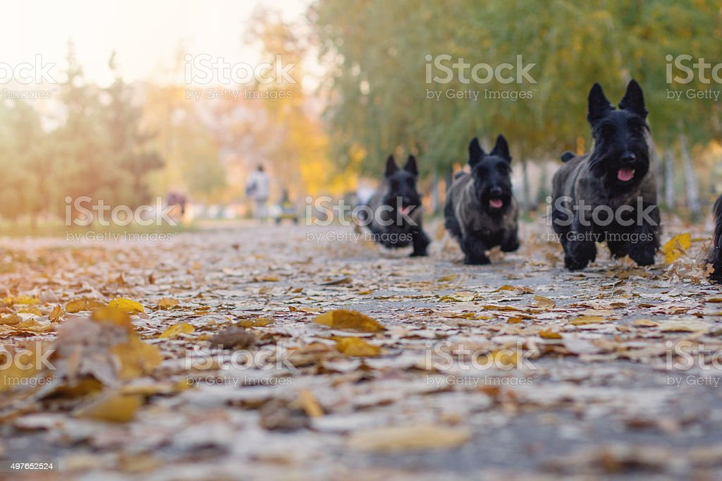 Multiple scottish terrier run in a park stock photo