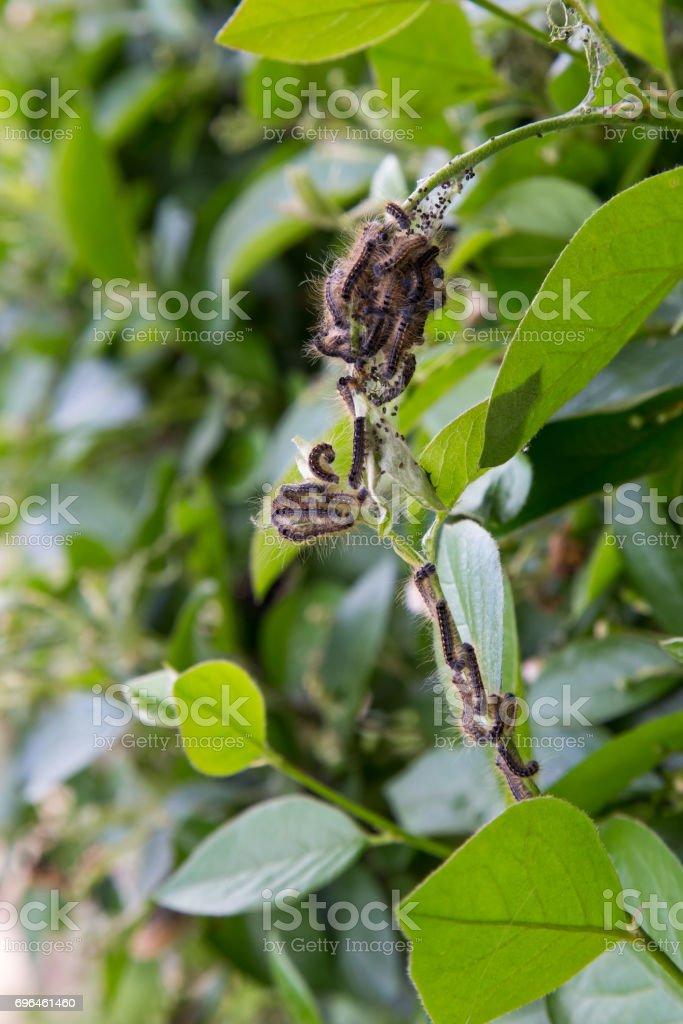 Multiple Tent Caterpillars on a Bush stock photo