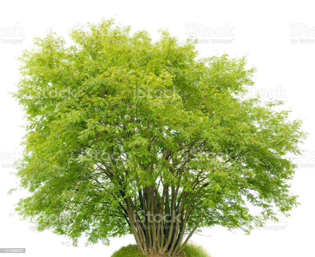 Multi-trunk Shrub (Rowan Tree, Sorbus aucuparia) isolated on white. stock photo