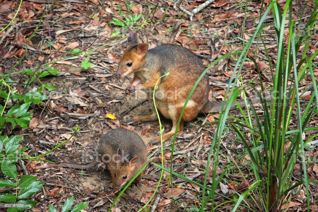 Mum and Joey pademelons stock photo