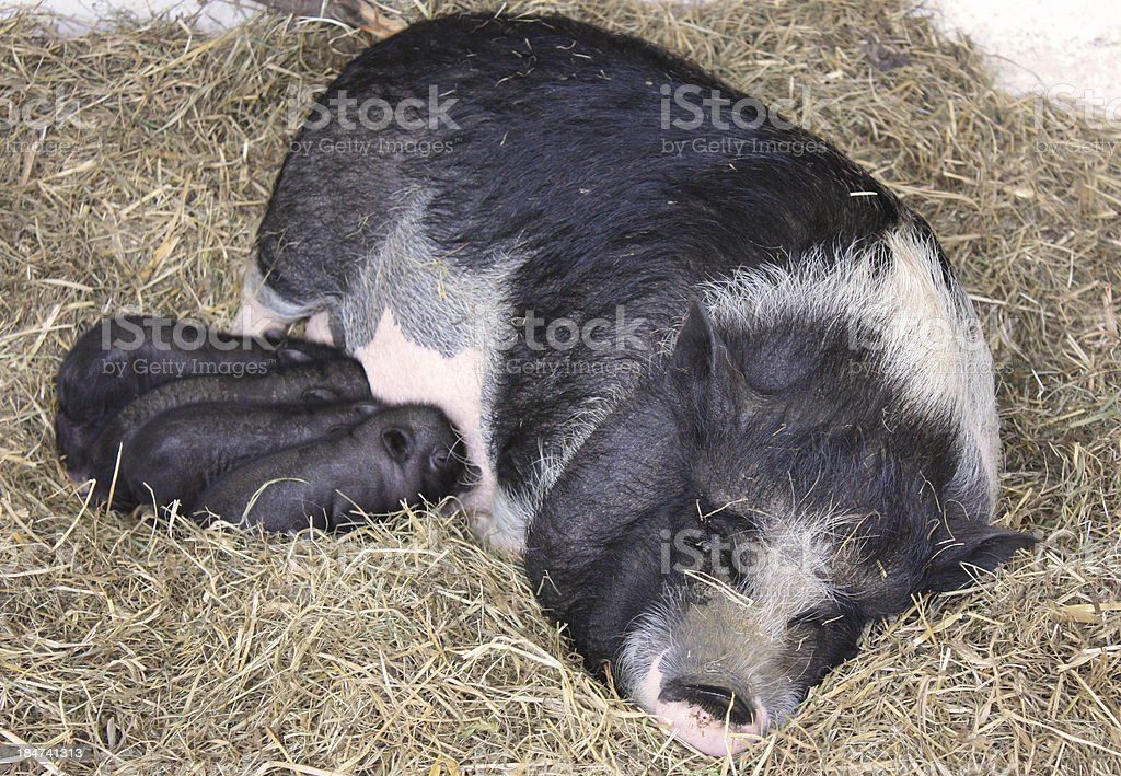Mum pig, sow royalty-free stock photo