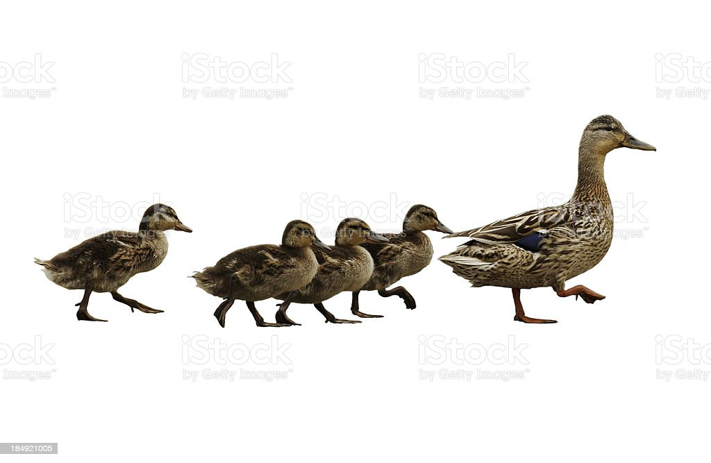 Mumma duck and kids stock photo
