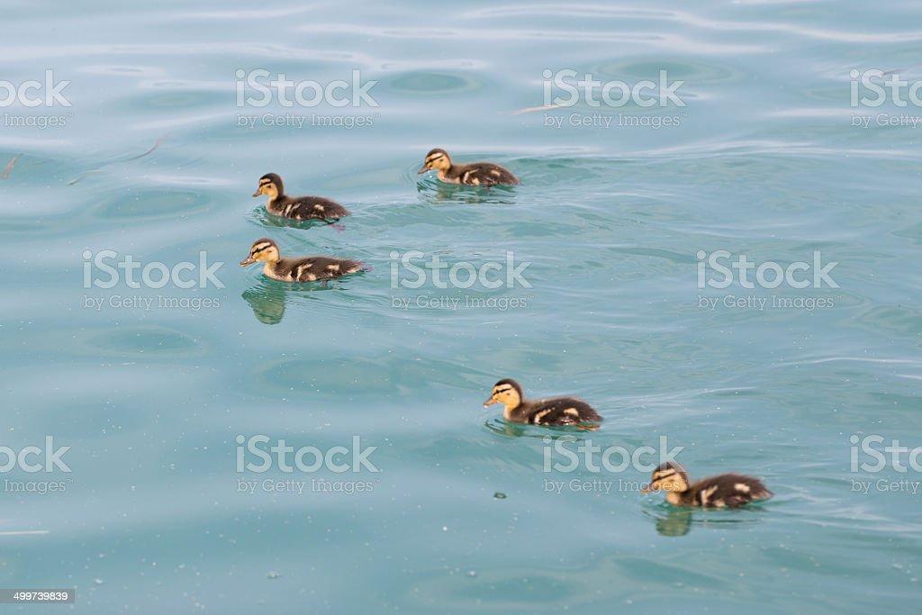 Mumma Duck and Kids stock photo