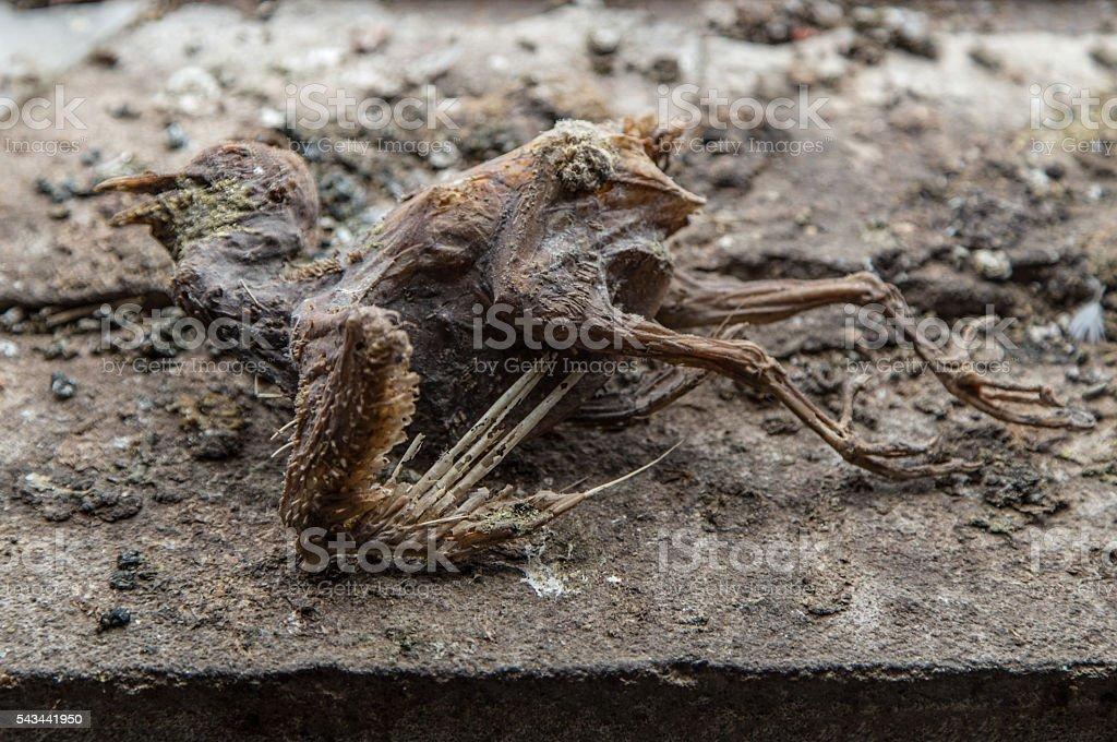 Mummified corpse of urban pigeon stock photo