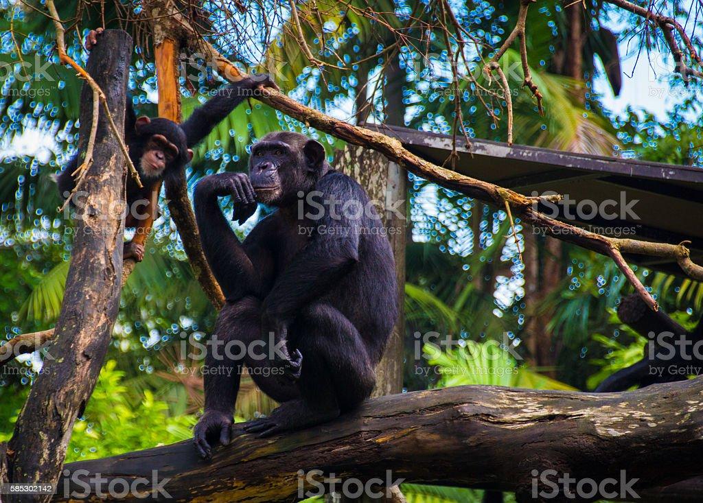 Mummy chimpanzee with a kid stock photo