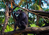 Mummy chimpanzee with a kid