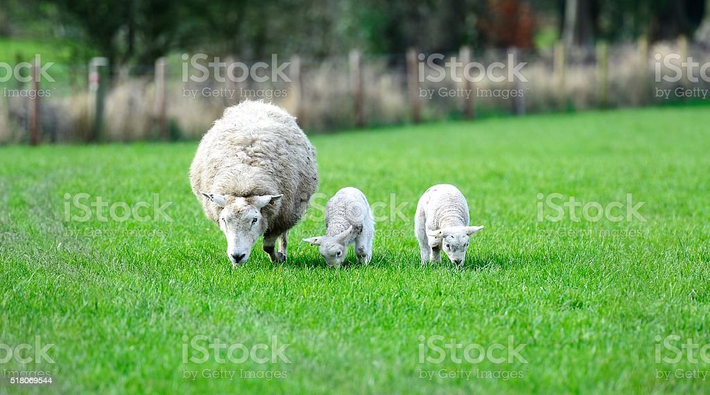 Mums and the new lambs stock photo