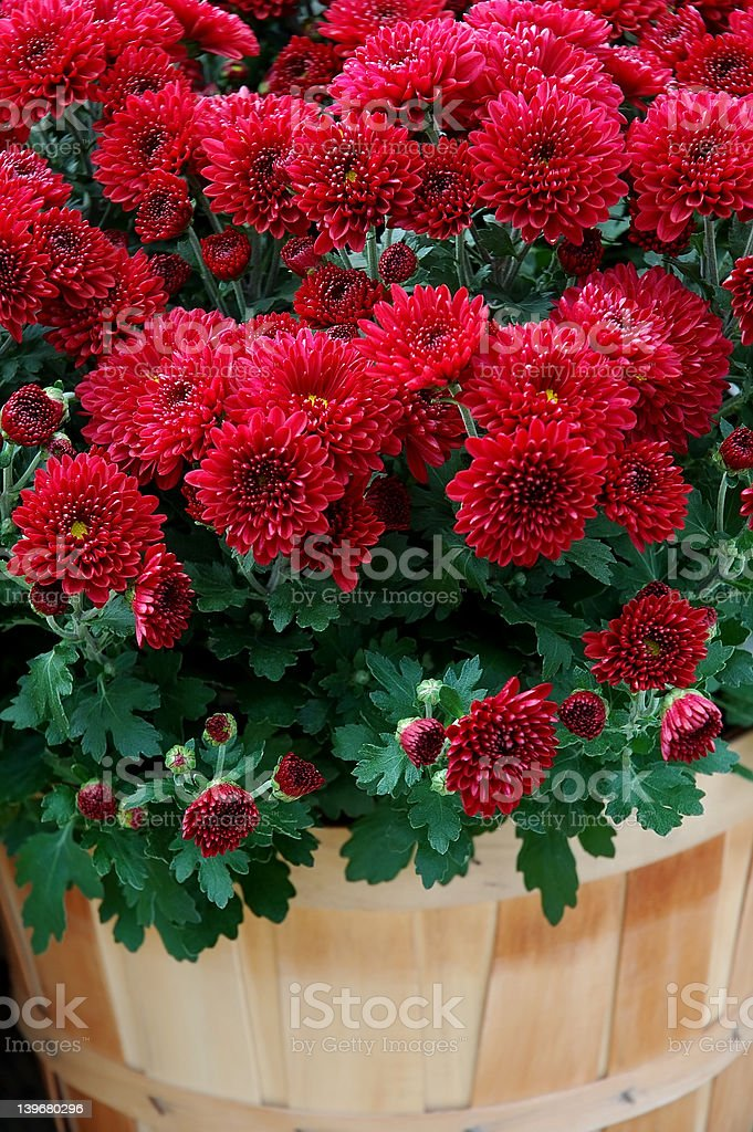 Mums in a Basket stock photo