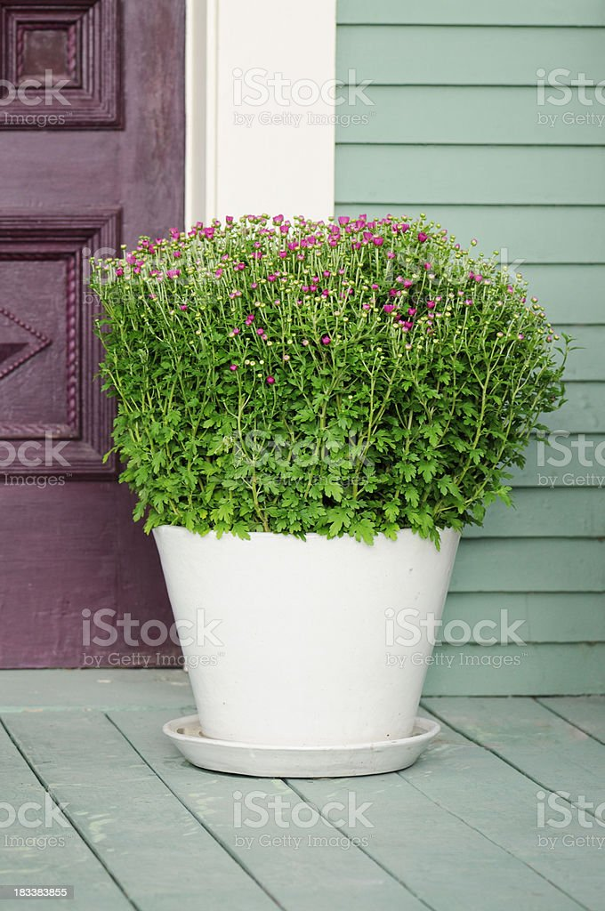 Mums in white flower pot stock photo